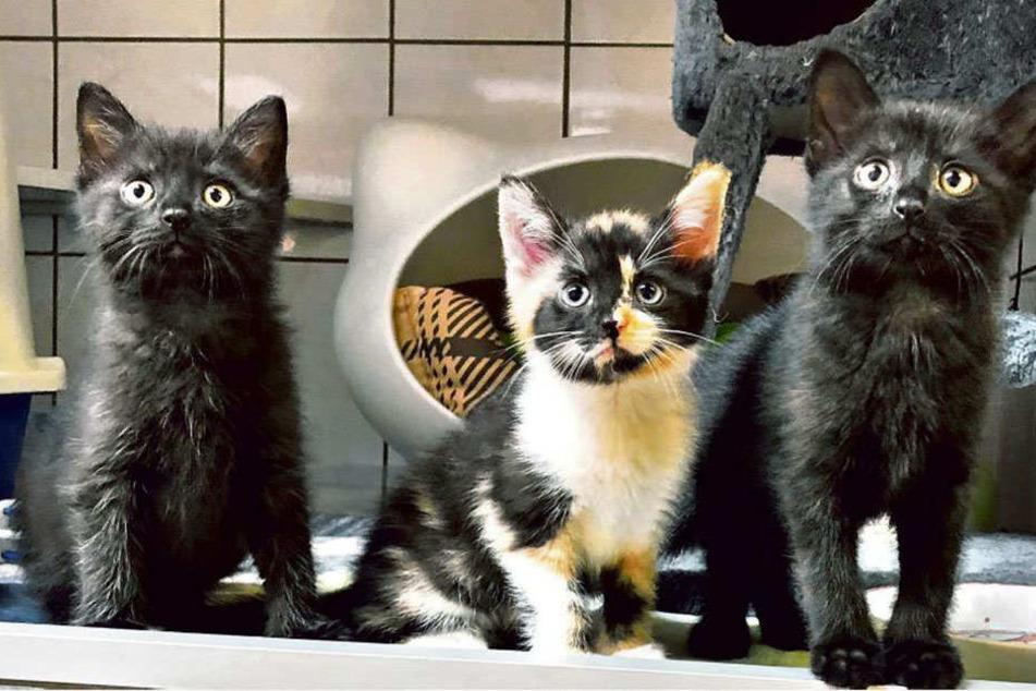 Sie sind zuckersüß: Die beiden Kater und die kleine Schwester (Mitte) können bald ins neue Zuhause umziehen.