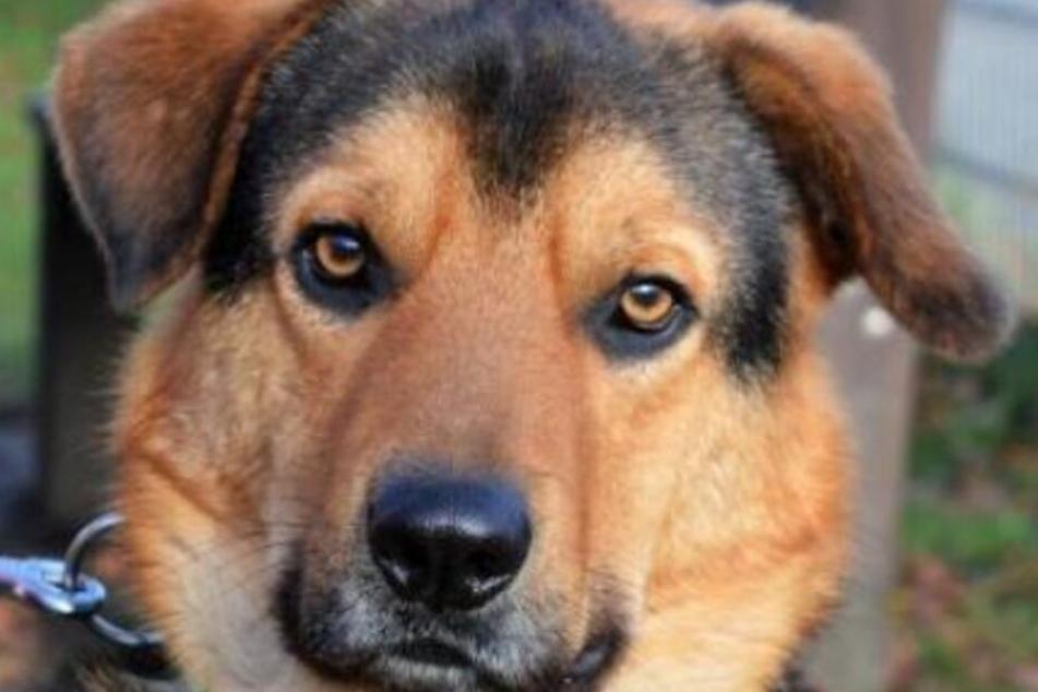 """Seit gut drei Jahren lebt Schäferhund-Mischling """"Balou"""" im Tierheim in Wiesbaden."""