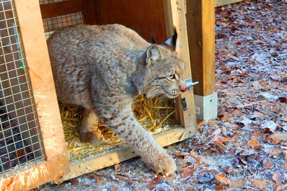 Bei seiner Ankunft im Tierpark Herford wagte sich Luchs Sieghard nach und nach aus seinem Käfig.