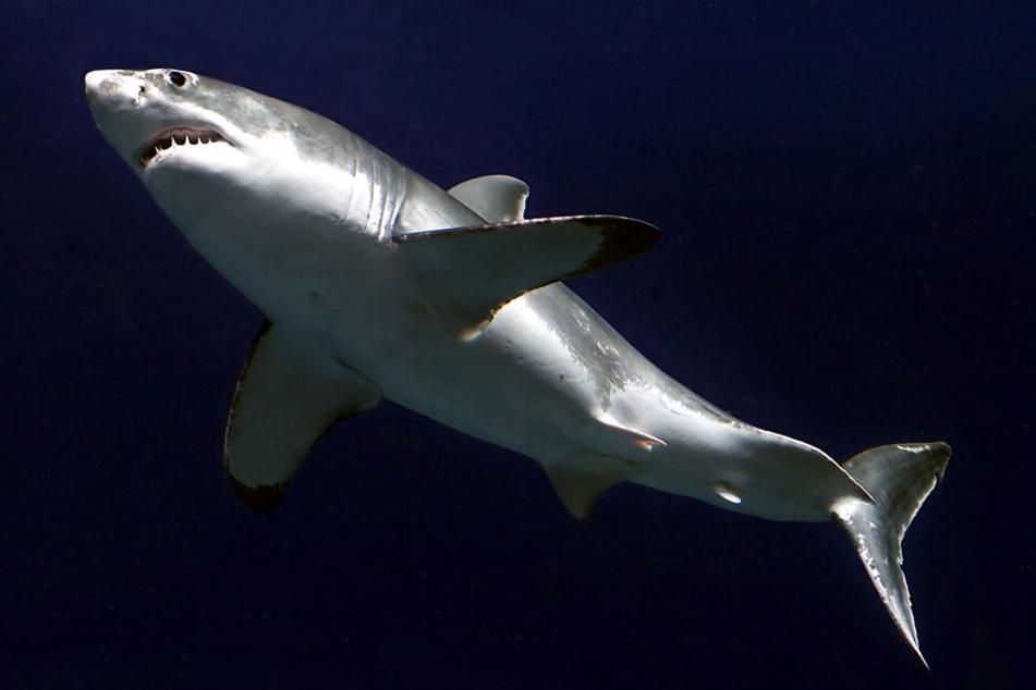 In Pfungstadt können wohl bald Haie bestaunt werden. (Symbolbild)