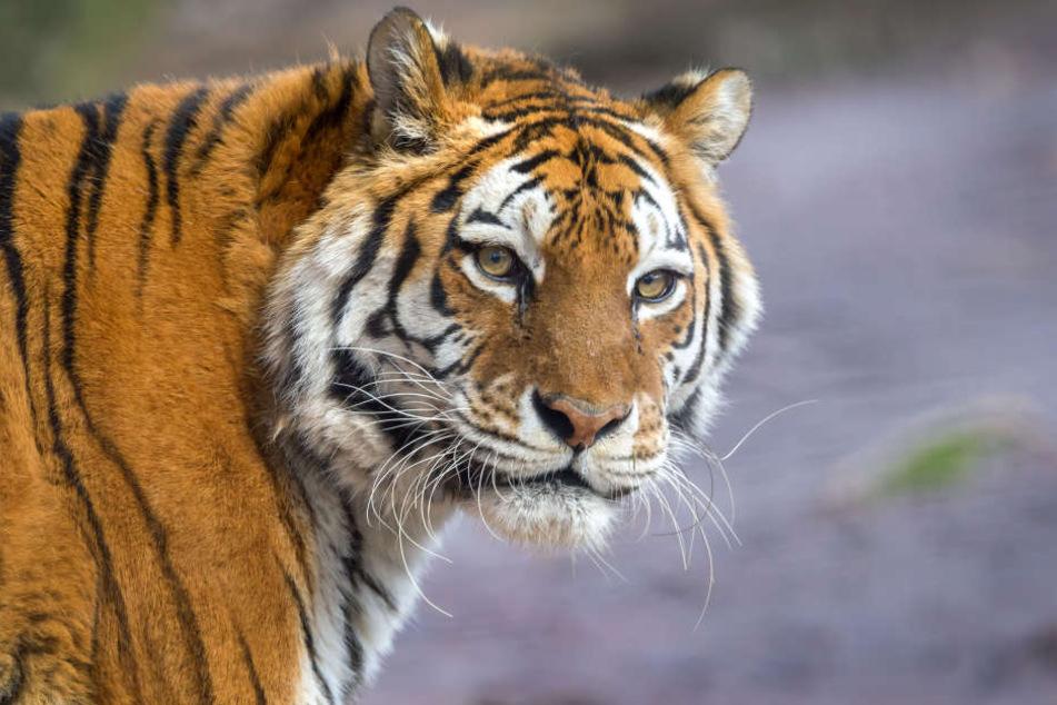 Tigerin Taiga ist mit 19 Jahren an Krebs verstorben.