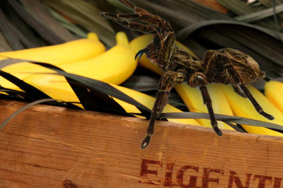 Aus einer Obstkisten waren drei Spinnen gekrabbelt. (Symbolbild)