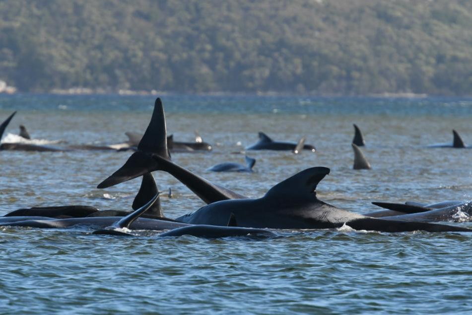 Etwa 270 Grindwale sind an einer Sandbank im Hafen von Macquarie in der Nähe von Strahan an der Westküste Tasmaniens gestrandet. In dem seichten Wasser haben die Tiere nur eine sehr geringe Überlebenschance.