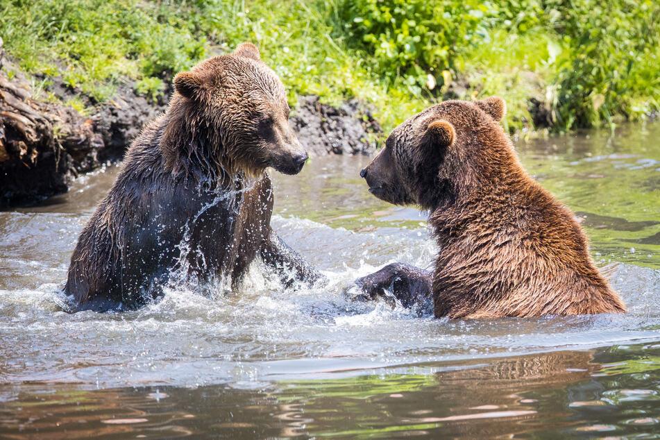 Die Hoyerswerdaer Bären plantschen gern, sind aber auch neugierig auf die lang vermissten Gäste.
