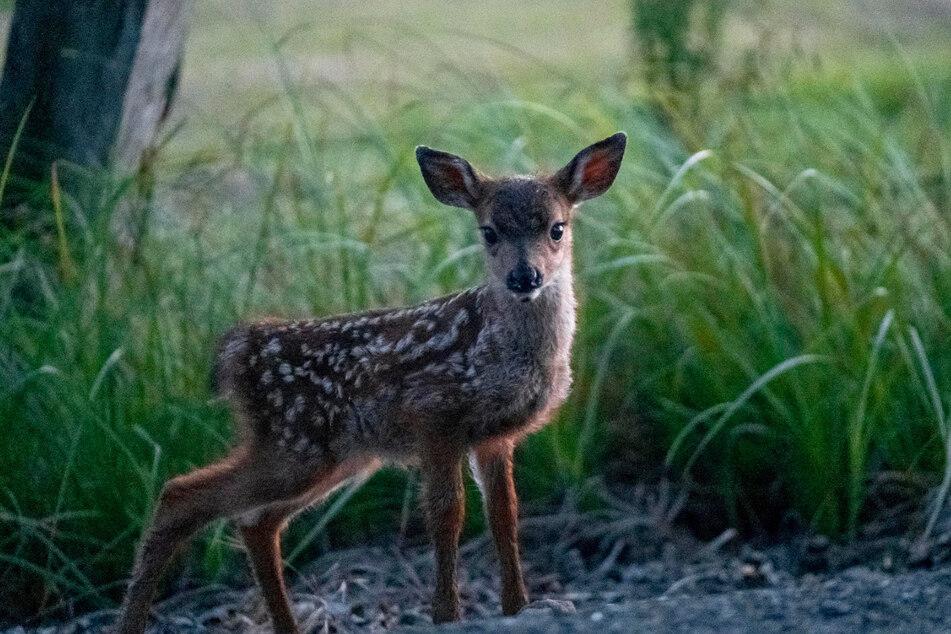 Ein Jäger setzte das Kitz in der Nähe eines Waldstücks aus. (Symbolbild)