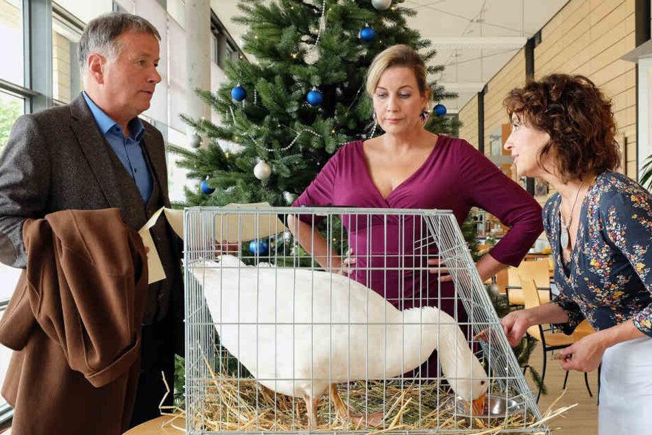 """Dr. Roland Heilmann bekommt die """"Weihnachtsgans"""" Auguste geschenkt. Dr. Kathrin Globisch (Andrea Kathrin Loewig) und Linda Schneider (r.) sind völlig entsetzt, als Roland ihnen mitteilt, dass Auguste selbstverständlich als Weihnachtsbraten endet."""