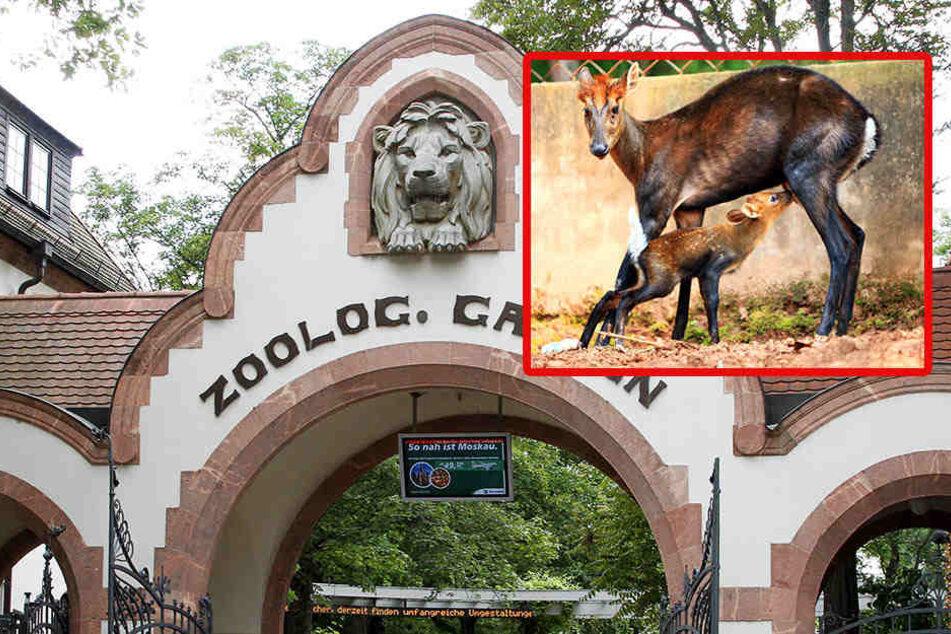 Was wird nur aus dem Muntjak-Nachwuchs im Leipziger Zoo?