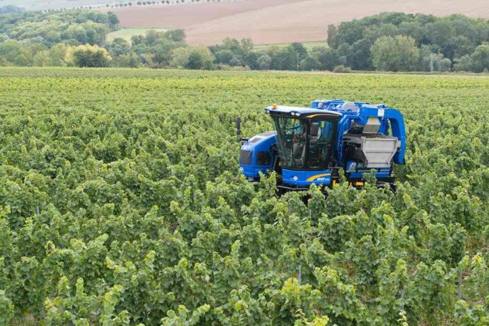 In diesem Jahr wird in Thüringen die Weinlese früher beginnen.