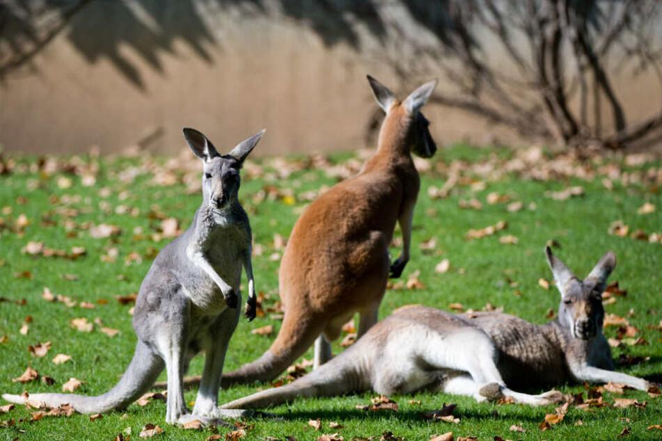 Drei Kängurus in der Stuttgarter Wilhelma. Der Zoo unterstützt die Rettung von Tieren in Australien.
