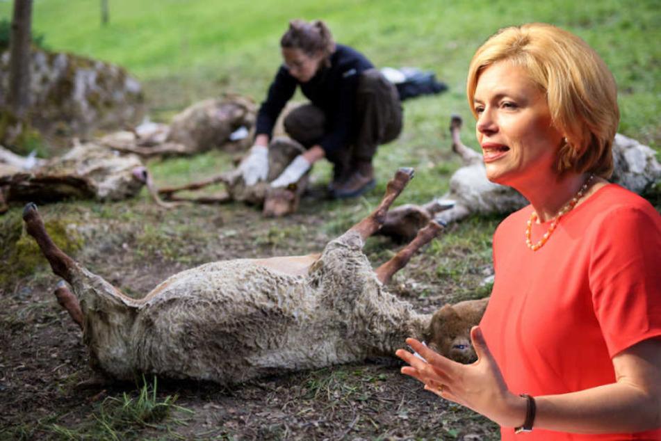 Agrarministerin Julia Klöckner (45, CDU) will die Ausbreitung der Wölfe begrenzen. (Bildmontage)
