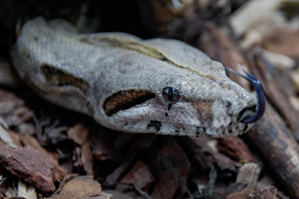Bei der Kontrolle fand das Veterinäramt 60 verwahloste Schlangen in der Wohnung eines 20-Jährigen. (Symbolbild)