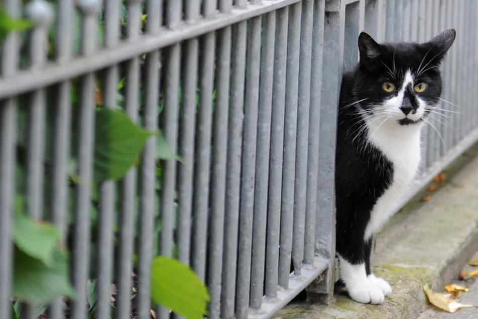 Besonders nicht kastrierte Katzen stellen eine Gefahr für die Wildtiere dar.