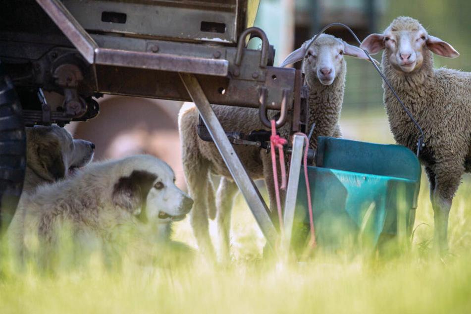 Ein Herdenschutzhund liegt auf einer Schafweide im Schatten, zwei Schafe stehen vor einem Wasserspender.
