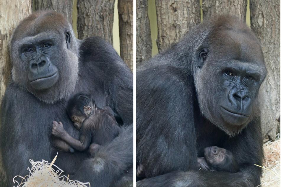 Nachwuchs im Berliner Zoo: Süßes Gorillababy macht sich prächtig