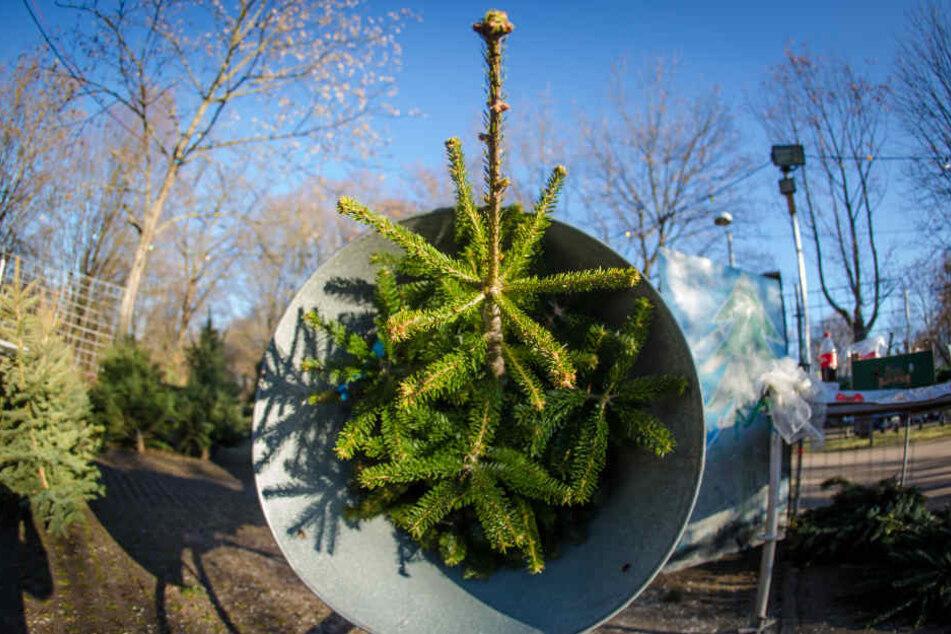Wenn es um den Weihnachtsbaum geht, bevorzugen die meisten Kunden Nordmanntannen. Aber auch Blau- und Rotfichten werden gekauft. (Archivbild)