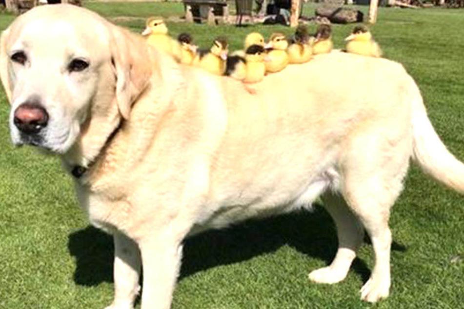 Schaut doch mal, wie rührend sich dieser Hund um neun Küken kümmert