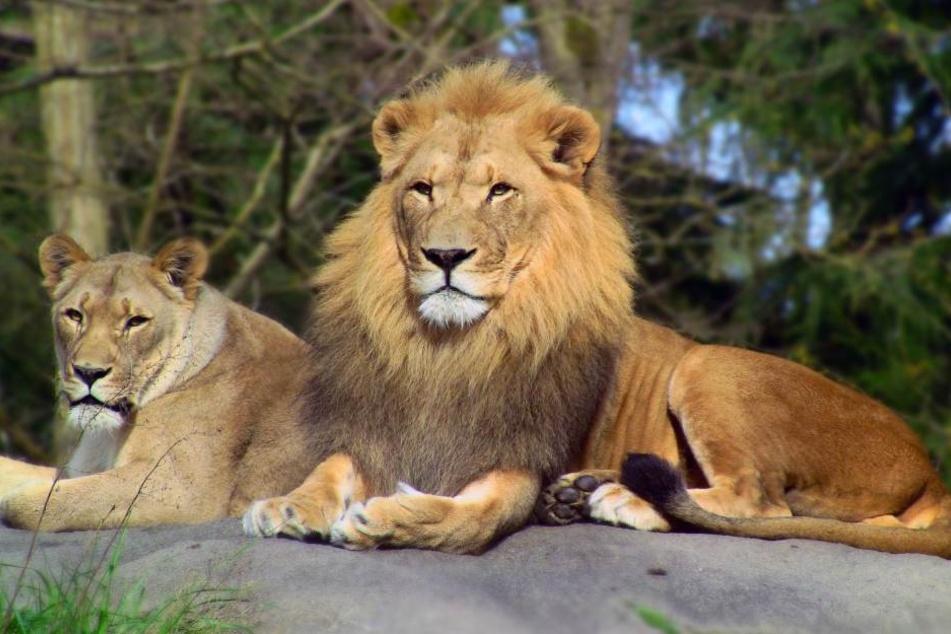Löwen haben eine ganz besondere Taktik, um besser jagen zu können.
