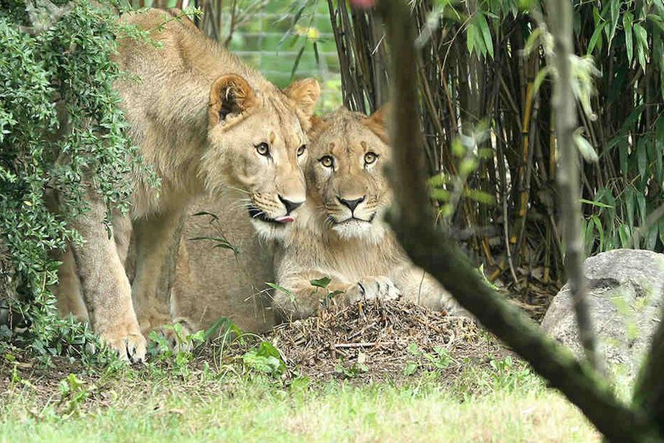 Die Löwenanlage in der Majo undMotshegetsibleibt bis auf Weiteres geschlossen.