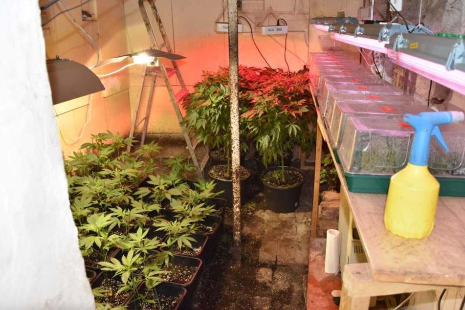 Die Ermittler stießen in drei Räumen des Hauses auf Indoor-Plantagen mit Marihuana-Pflanzen.