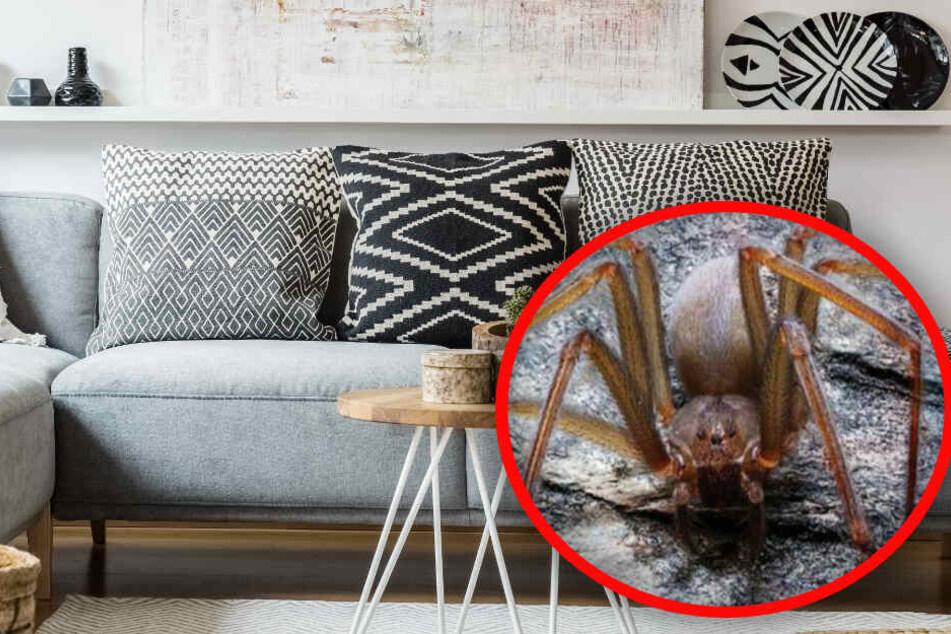 Die Spinne, die in Mexiko entdeckt wurde, versteckt sich auch in Möbeln. (Bildmontage)