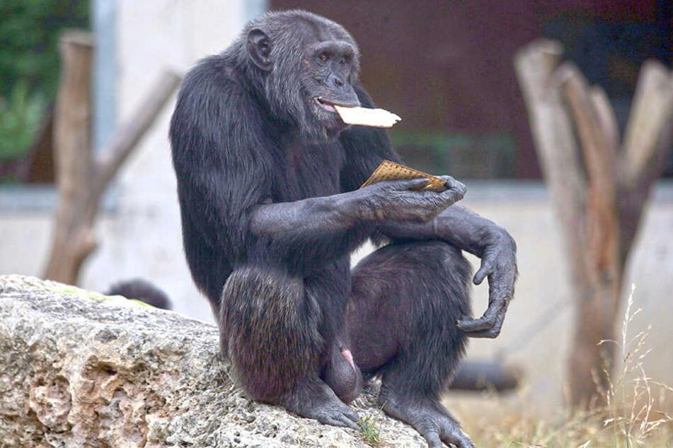 Ein Schimpanse frisst im Safari-Zoo Ramat Gan bei Tel Aviv ungesäuertes Matze-Brot. Am jüdischen Pessach-Fest werden die besonderen Speisevorschriften in Israel sogar von Zootieren eingehalten.