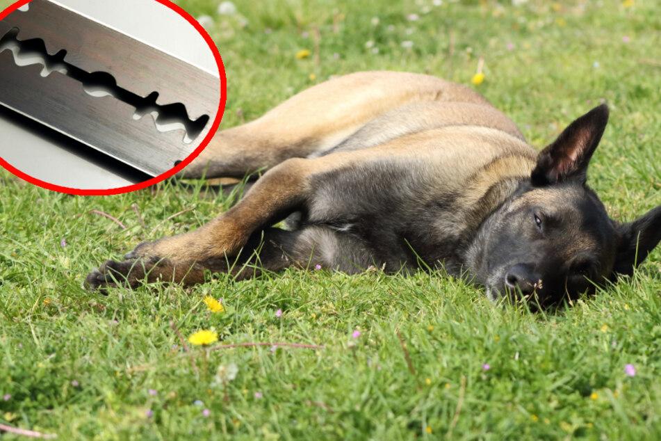 Hund frisst präparierten Köder und erbricht Rasierklingen