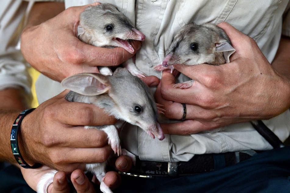 Gestatten, wir sind die Neuen: Große Kaninchennasenbeutler ziehen im nächsten Jahr im Gondwanaland ein.
