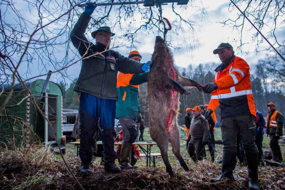 Forstarbeiter und Jäger wiegen ein bei der Treibjagd abgeschossenes Wildschwein. (Symbolbild)