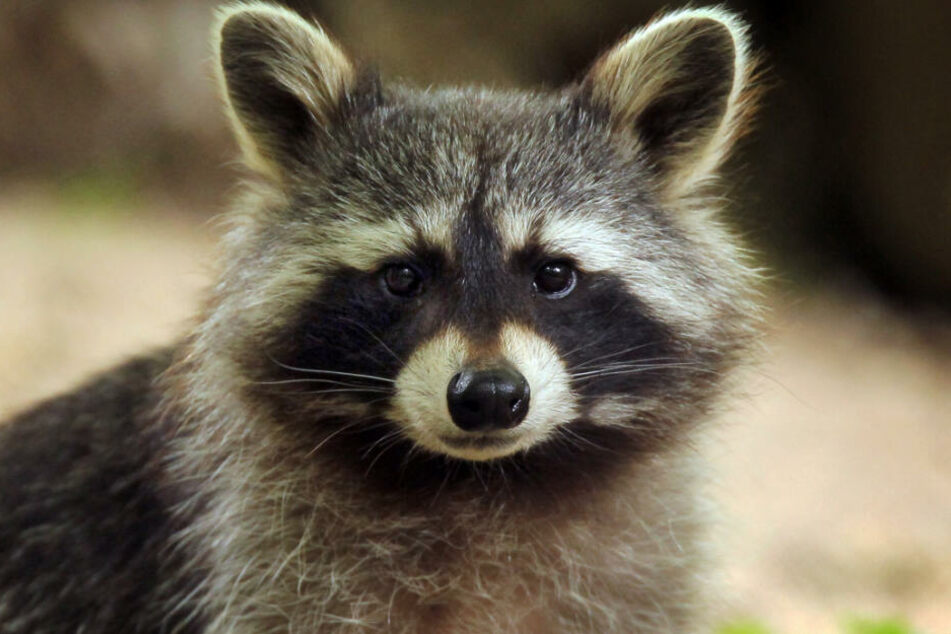 c2f8e608814d8e Sie gefährden andere Tiere! Jäger schießen immer mehr Waschbären - TAG24