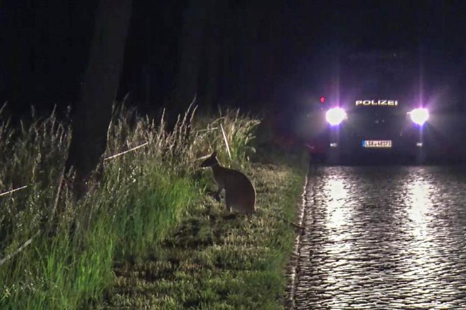 Die Beamten sahen das Tier zwar, doch noch bevor sie es einfangen konnten, entwischte das kleine Känguru.