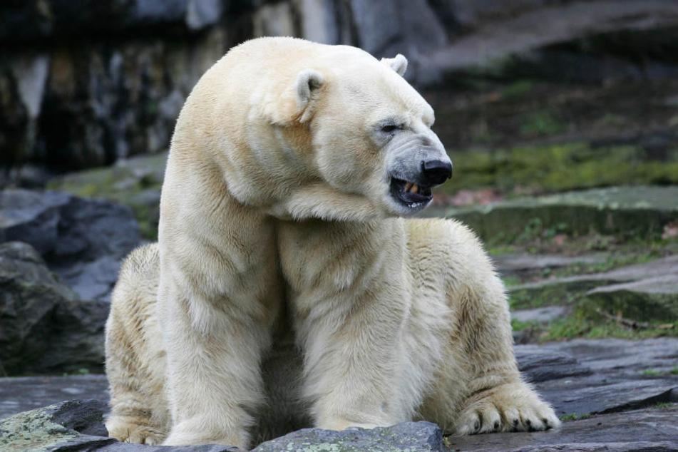 Eisbärin Aika im Berliner Tierpark ist gestorben.