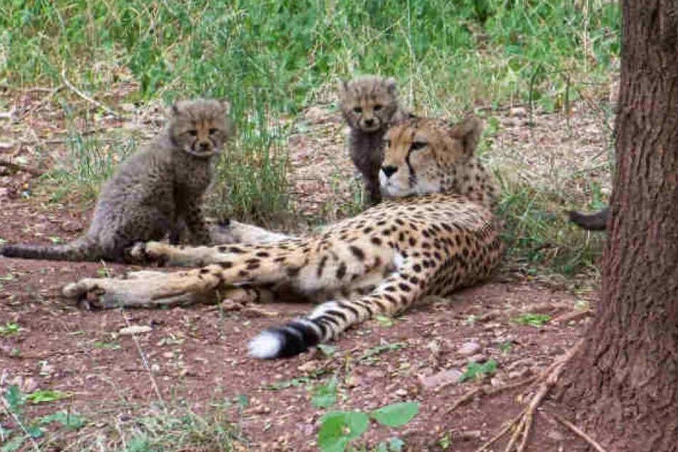 So klein waren die Geparden-Babys im Juni, nun sind sie schon zu einer stattlichen Größe herangewachsen.