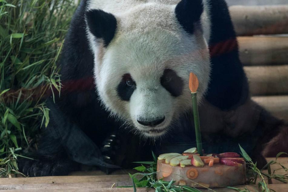 Panda-Mann Jiao Qing konnte sich schon im letzten Jahr über eine Torte zum Geburtstag freuen.