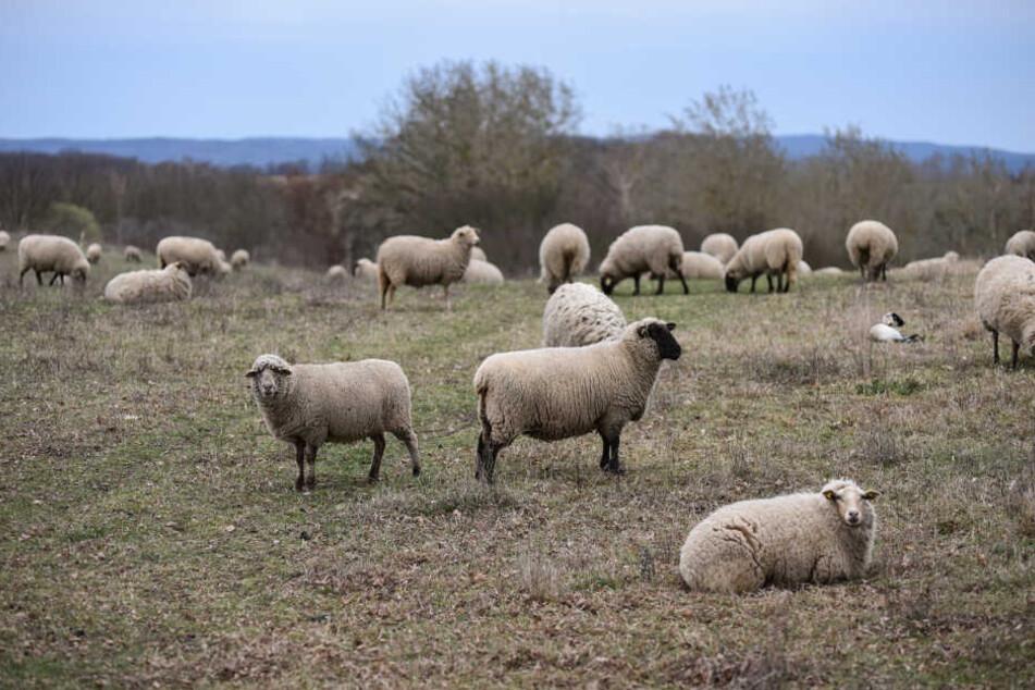 Die Schafsherde lebt ohne Unterstand auf offener Weide und ist den Kolkraben schutzlos ausgeliefert.