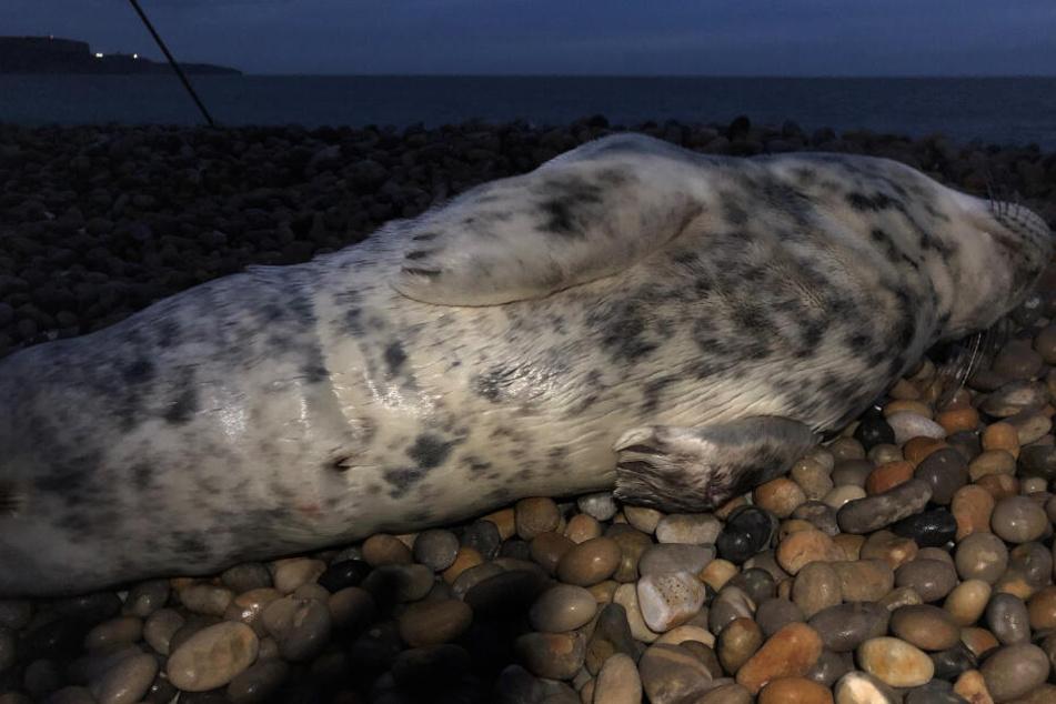 Das Robbenbaby starb später beim Tierarzt.
