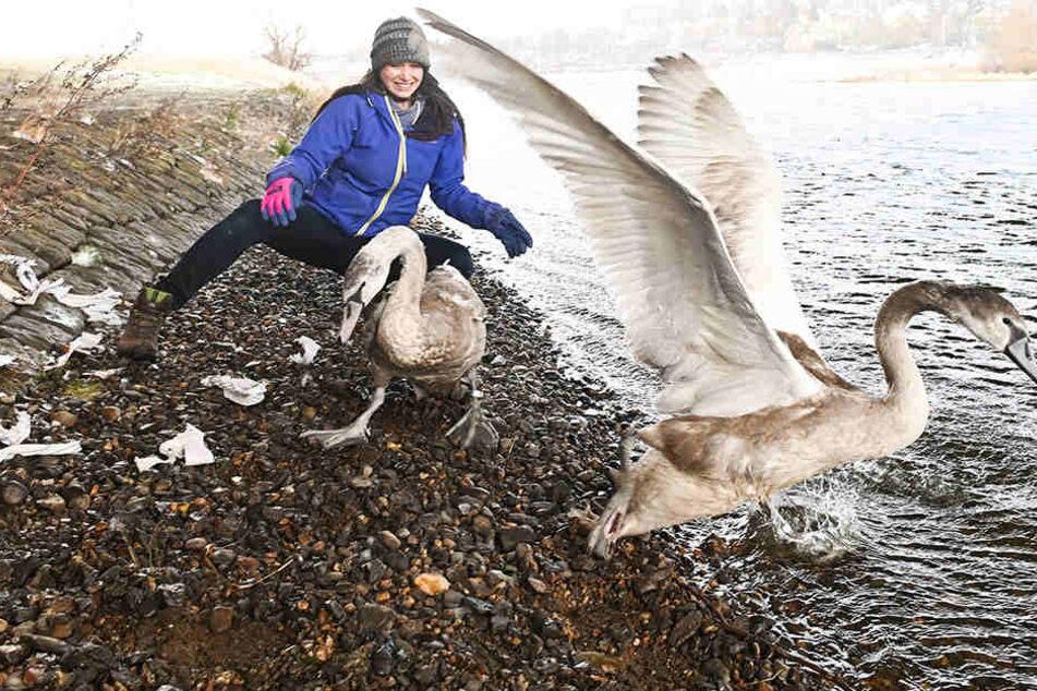 Freude bei den Vogelrettern: Gestrandete Schwäne dürfen in die Freiheit