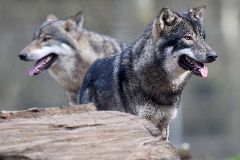 Angeblich soll ein Wolf in Niedersachsen einen Mensch angefallen haben.