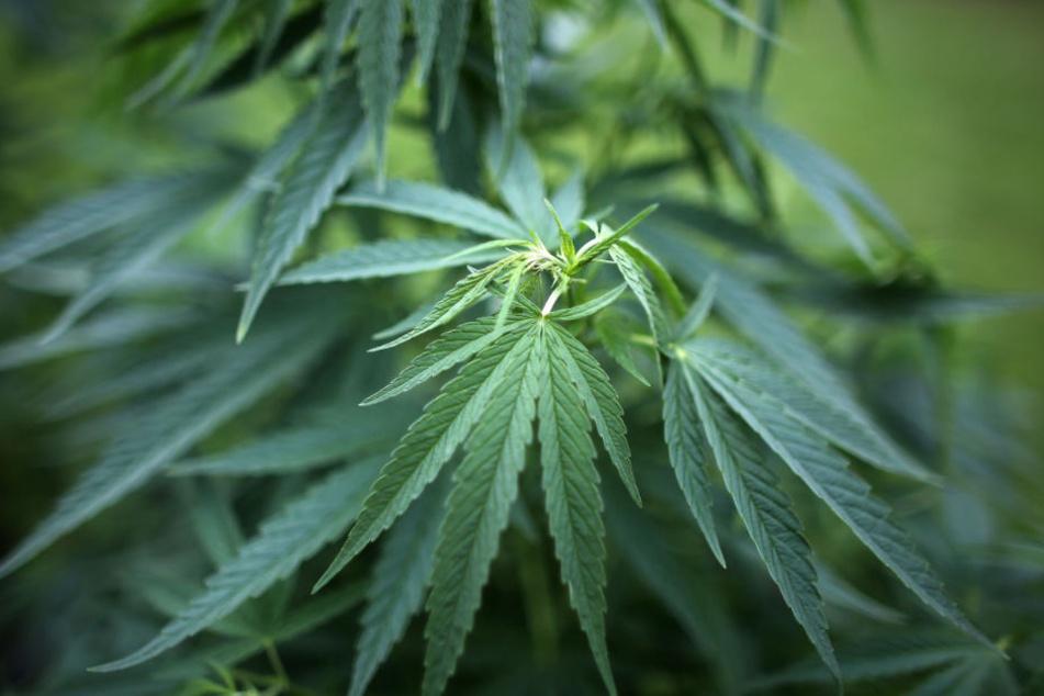 Bei ihrem Betriebsausflug haben Polizeibeamte auf einer Dachterrasse gleich mehrere große Cannabispflanzen entdeckt. (Symbolbild)