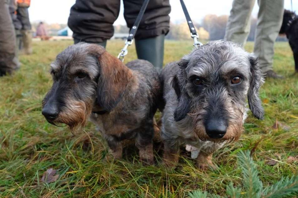 Dackel sind laut Statistik die zweitbeliebteste Hunderasse in Deutschland.
