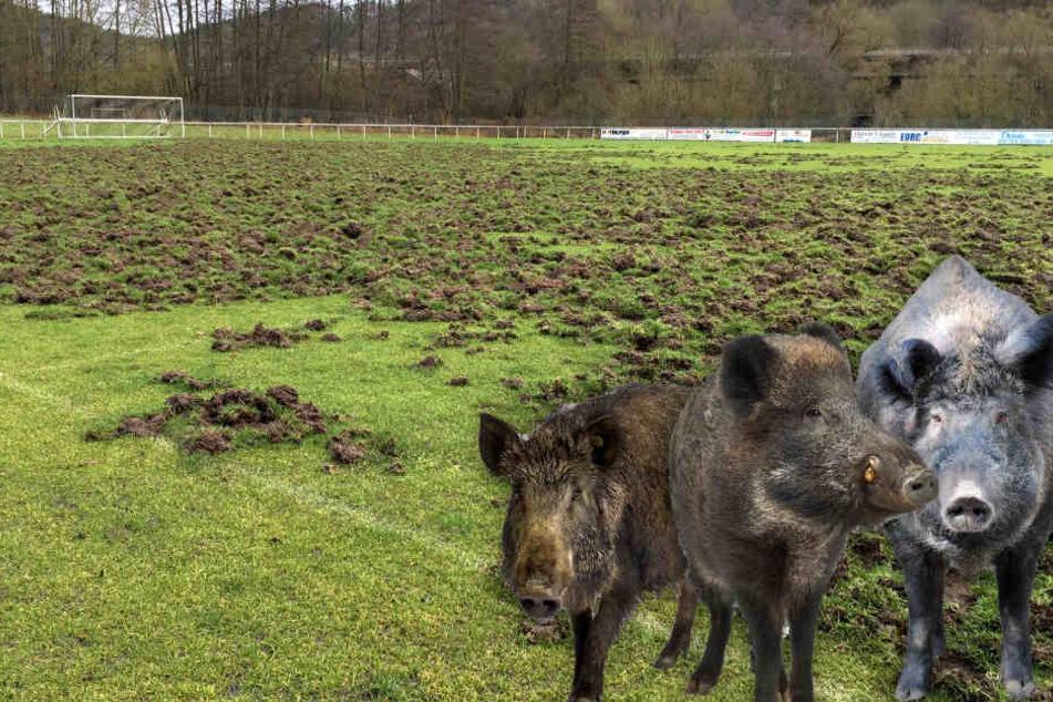 So ne Sauerei: Wildschwein-Horde verwüstet Fußball-Feld
