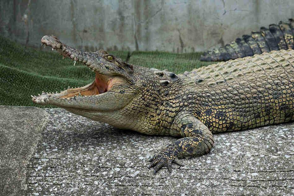 Das Krokodil riss die Forscherin urplötzlich ins Becken. (Symbolbild)