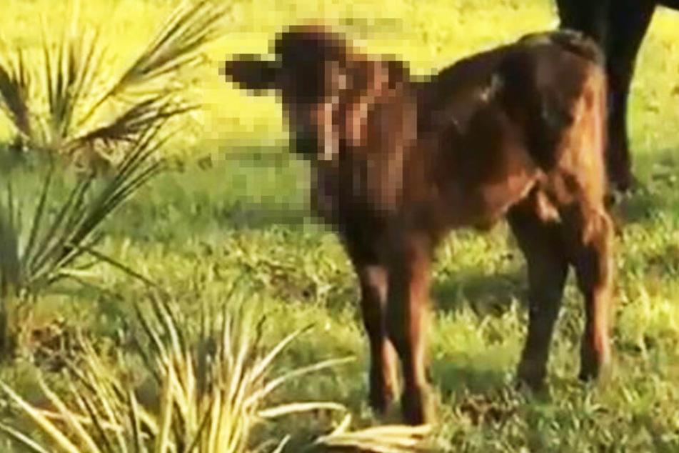 Was wächst denn dieser Kuh da aus dem Kopf?