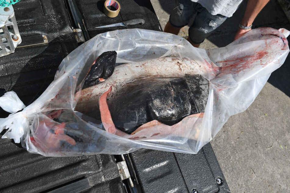 Das tote Schweinswal-Weibchen wurde auf einem Pick-Up-Truck zum Deutschen Meeresmuseum nach Stralsund gebracht.
