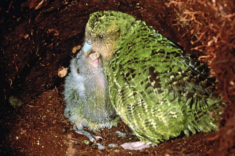 Im neuseeländischen Codfish füttert ein Kakapo seinen Nachwuchs.