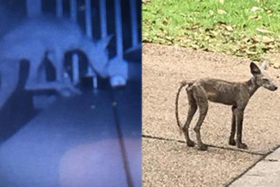 Weder Hund noch Kojote: Anwohner rätseln, was das für ein Wesen ist