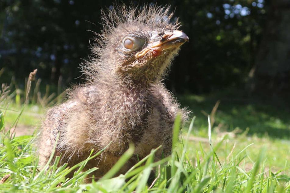 Noch sieht der Terrorvogel niedlich aus.