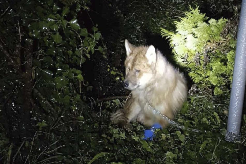 Der Hund wurde von einem bislang Unbekannten im Freien ausgesetzt und an einen Schilderpfosten gekettet.