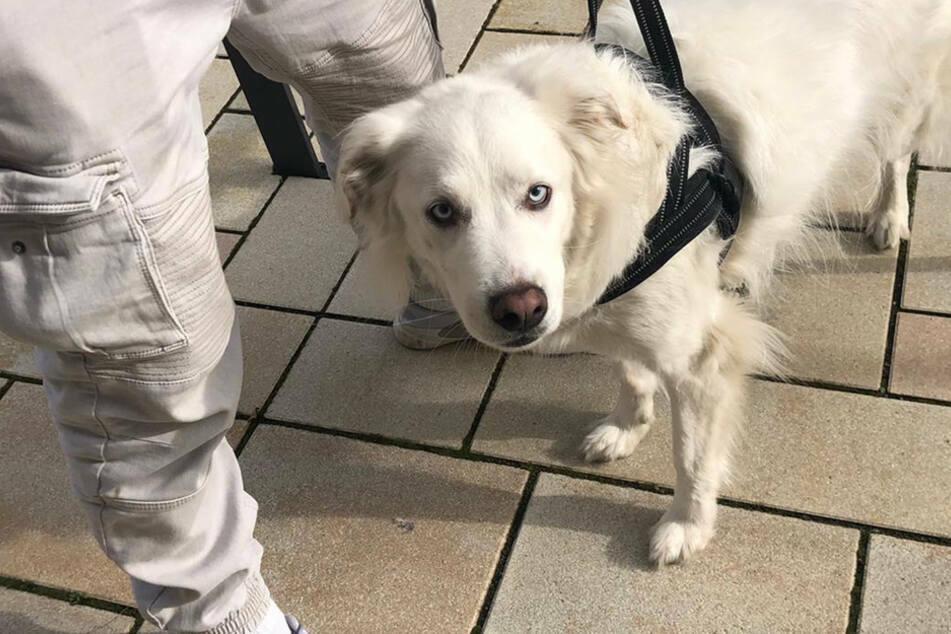 Hunde dürfen im Falle einer Ausgangssperre auch nur noch kurz an die Luft beim Gassigehen...