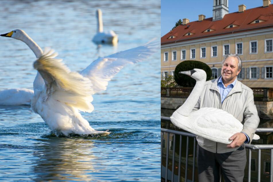 Dresden: Schluss mit den Plastik-Imitaten: Wagner-Ort Graupa will wieder echte Schwäne!