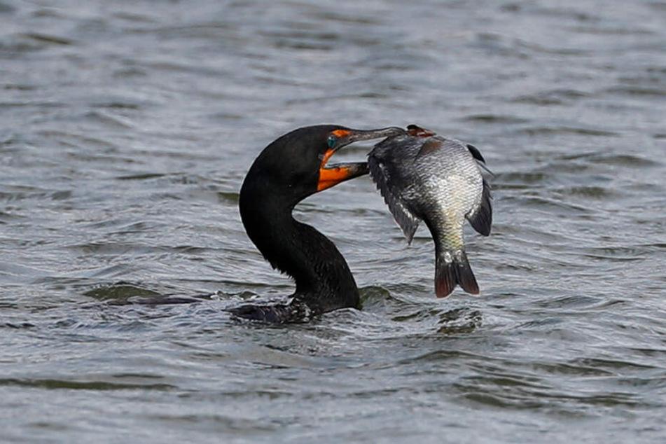Ein Kormoran hat einen Fisch im Schnabel.